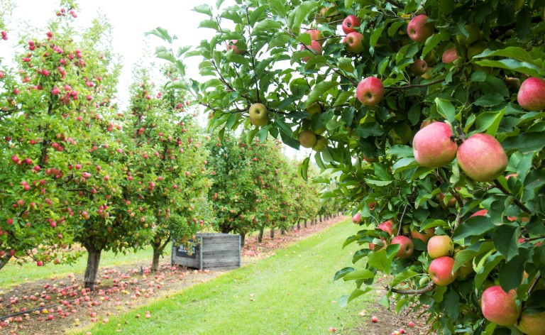 Apple-tree-in-orchard
