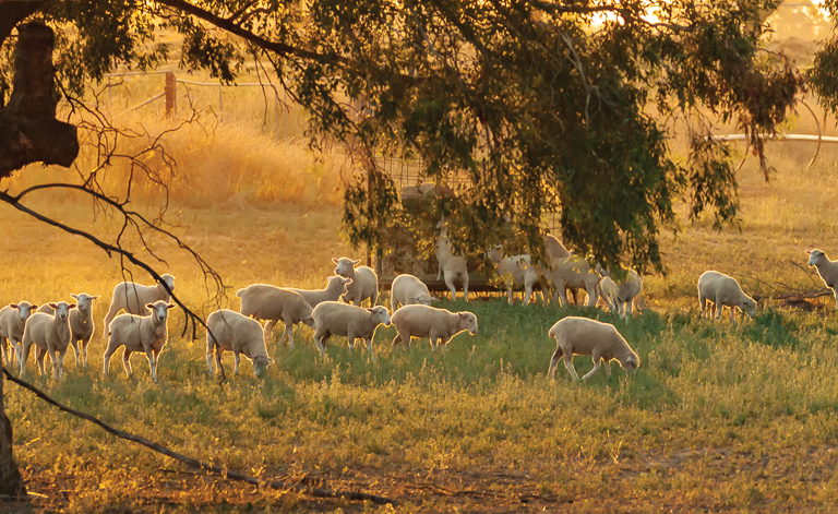 folk-of-sheep-grazing-in-sunlit-paddock