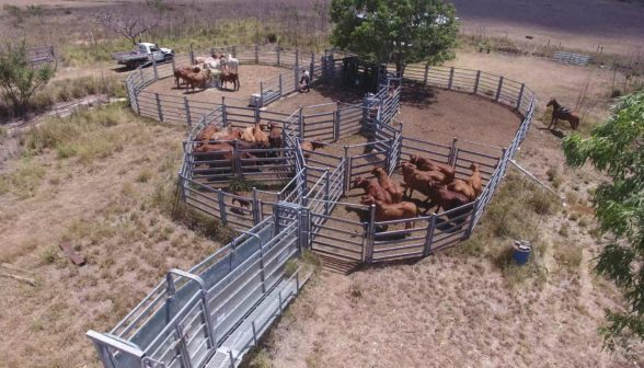 cattle-in-arrowquip-portable-fencing