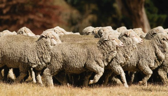 close-up-of-a-flock-of-superfine-sheep