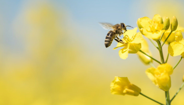 close-up-bee-on-canola-flower