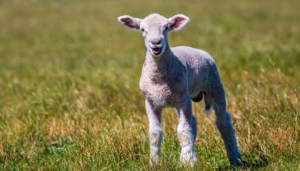 young-lamb-alone-in-paddock