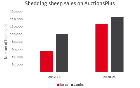 Graph-showing-how-shedding-sheep-are-in-demand-as-producers-look-to-increase-flock-numbers-source-auctionsplus