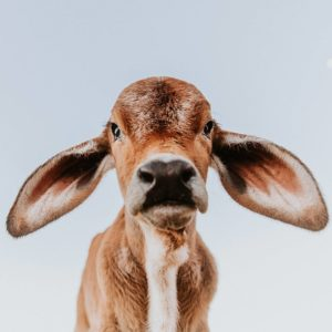 close-up-young-brahman-with-big-ears