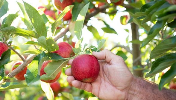 hand-picking-red-apples-from-tree